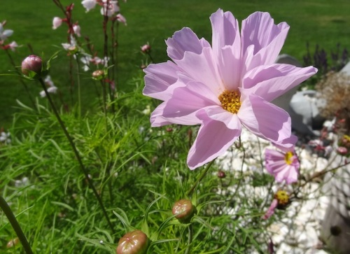 'Seashells', my favourite cosmos