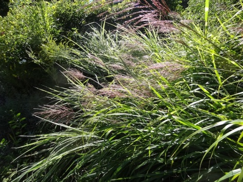 ...and lots of the grasses.