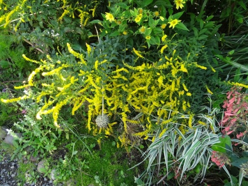 The heavy rain bowed down Solidago 'Fireworks'