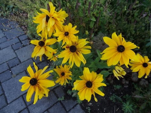 loving all the rudbeckias I planted this year