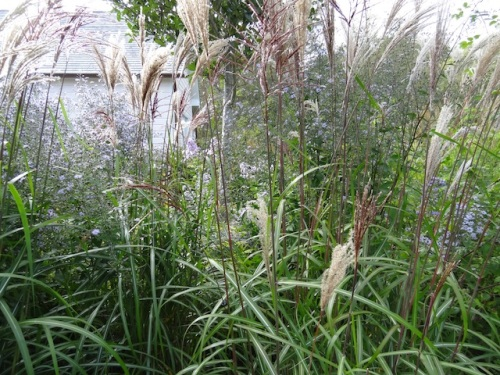 It is the season of glory for ornamental grasses.