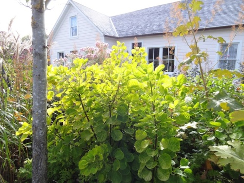 golden cotinus