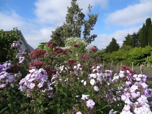 phlox, Joe Pye Weed, asters
