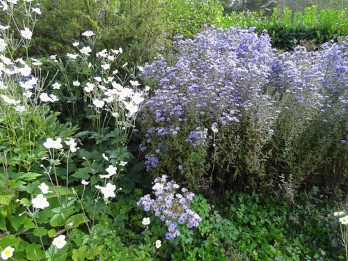 Japanese anemones and asters