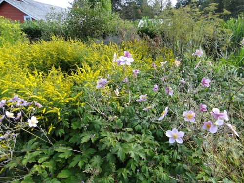 south side of driveway, Japanese anemone and solidago