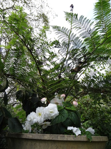 urns of tree ferns and begonias