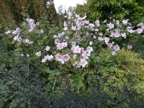Japanese anemones; there's room here for their running habit.