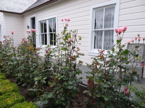 'Queen Elizabeth' roses
