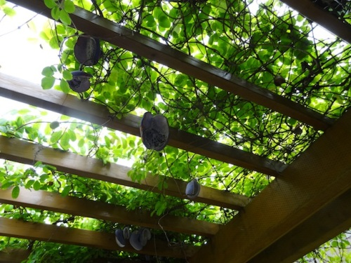 Akebia on the arbor. Mine never have made pods like these.
