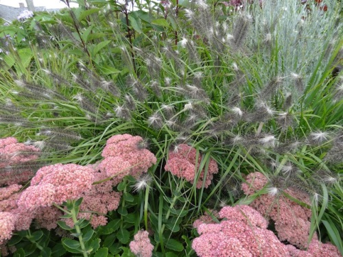 More of that grass. Scott thinks it might be Pennisetum 'Red Head' going to seed.