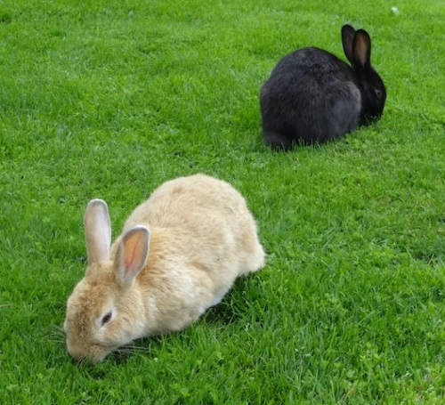 the front lawn bunnies; if only they would stick to just grazing on the lawn
