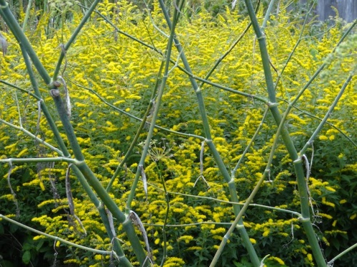 fennel and solidago