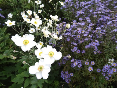 anemone and aster