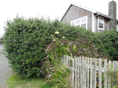 a tall escallonia hedge