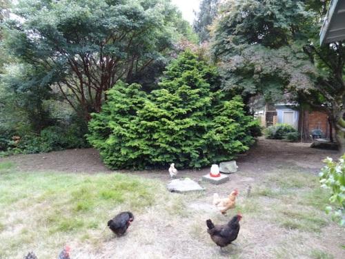 the chicken yard; left: big old paperbark maple