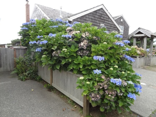 Hydrangeas do well this close to the ocean.