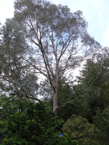 "the tall old eucalyptus that they call ""Elvis"""
