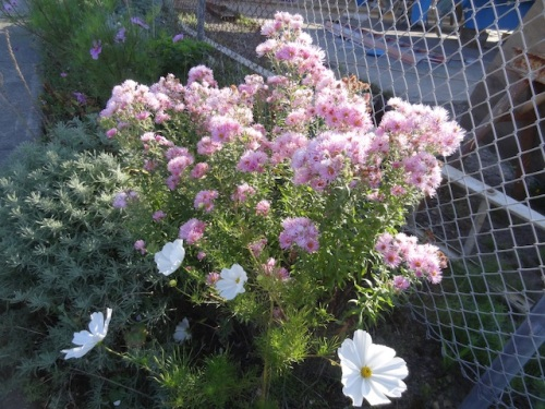 a tall pink aster, maybe Harrington's Pink