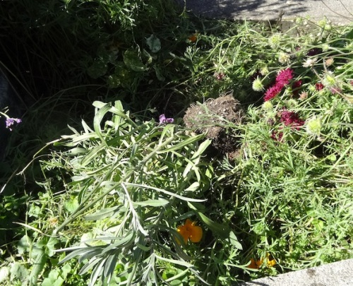 a yanked out and broken erysimum which I cannot replace at this time of year (none available around here)