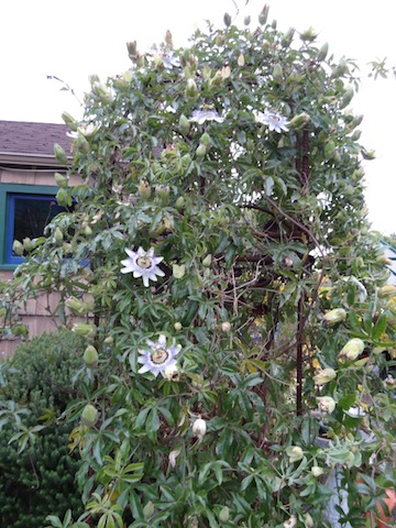 passiflora on back garden arbor