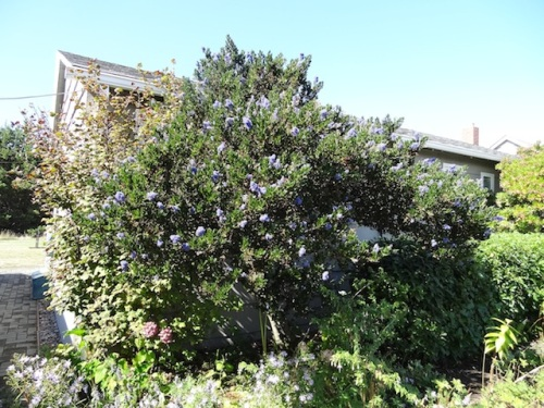 Ceanothus putting on a second bloom.