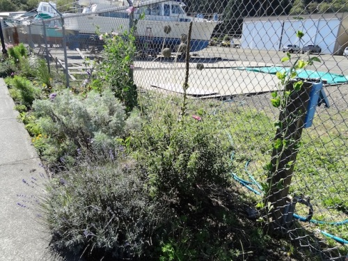 cistus, lavender, sweet peas, Artemisia 'Powis Castle'