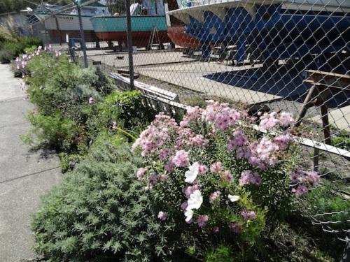 tall pink aster ('Harrington's Pink'?), santolina, cosmos