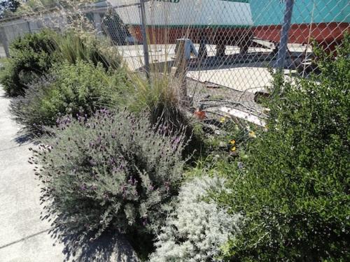 ceanothus, lavender, Stipa gigantea, cistus, rosemary