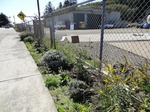 Solidago 'Fireworks', santolinas, lavenders, California poppies