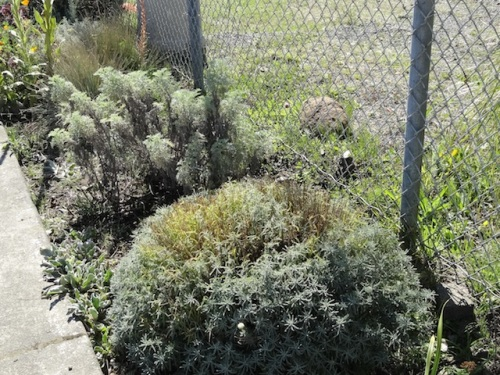 santolina, Artemisia 'Powis Castle', verbascum