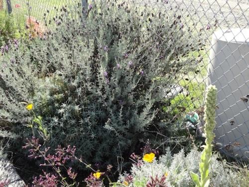 verbascum, 'Hopley's Purple' oregano, lavender, santolina