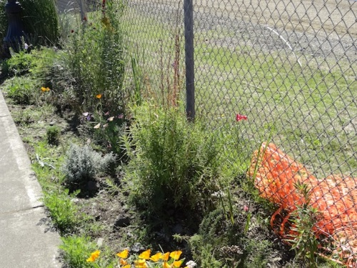 california poppies, santolina, sweet peas, linaria? or a penstemon...which I need more of in this garden.