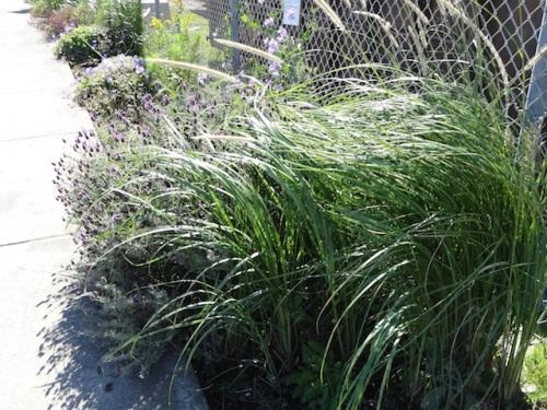 Pennisetum macrourum, lavender