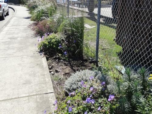 euphorbia, santolina, Geranium 'Rozanne'