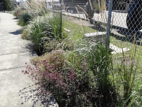 'Hopley's Purple' oregano and Pennisetum macrourum