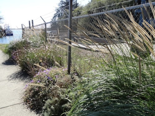 Pennisetum macrourum, (which as you can see is going a bit too strong), Geranium 'Rozanne', Gaura 'Whirling Butterflies'