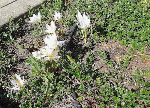 white autumn crocus by the library entrance