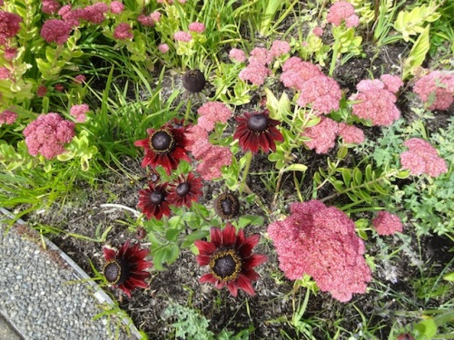 Rudbeckia 'Cherry Brandy' and Sedum 'Autumn Joy'