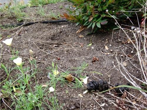 Deer poop pointed to a sedum pulling culprit.