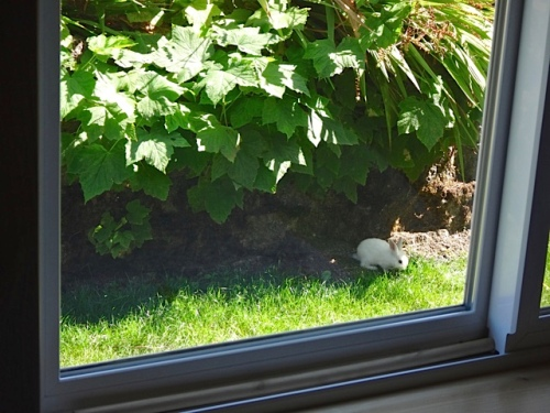 a bunny in the garden (Allan's photo)