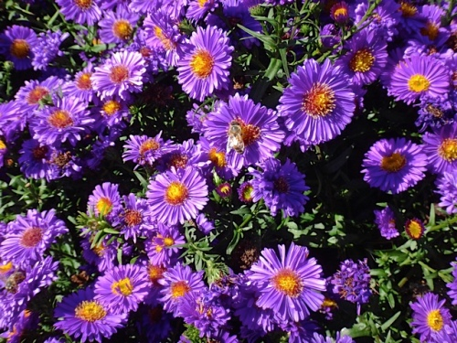 asters (Allan's photo)