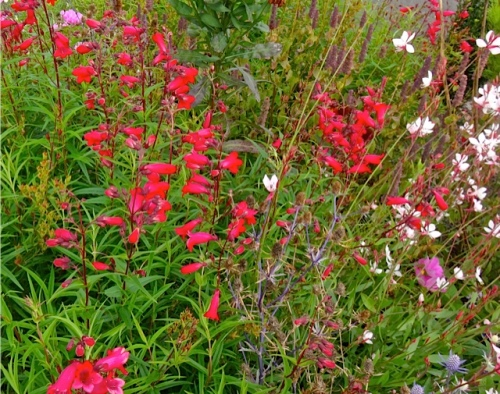 bright red penstemon