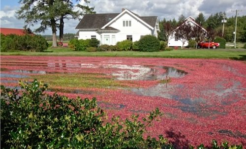on the way: Cranberry harvest has begun with the flooding of the bog just north of Black Lake.