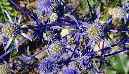 an eryngium transplanted last fall from our garden