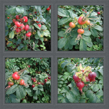beach approach rose hips
