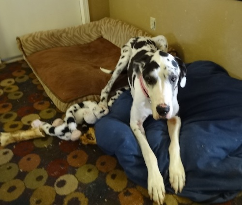 one of the three Great Dane office staff members