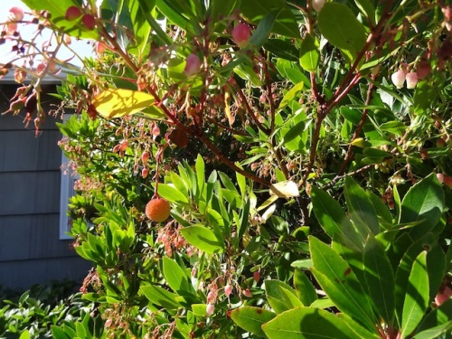"""arbutus beginning to have its """"strawberries"""""""