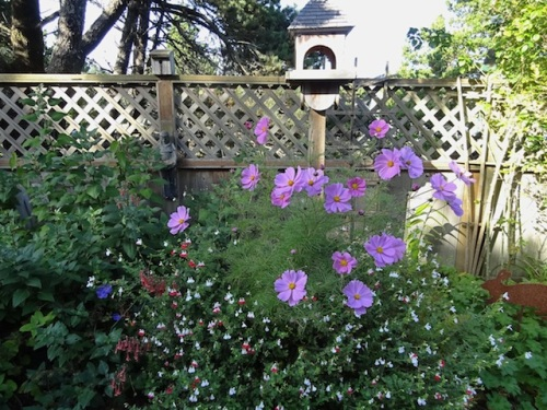 Cosmos and Salvia 'Hot Lips' still going strong