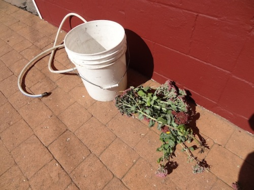 This much Sedum 'Autumn Joy' had been pulled, some from each planter. Perhaps a deer is the culprit.