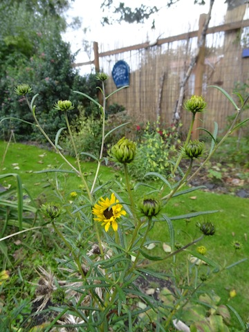 a lacy new-to-me Helianthus from Blooming Nursery.